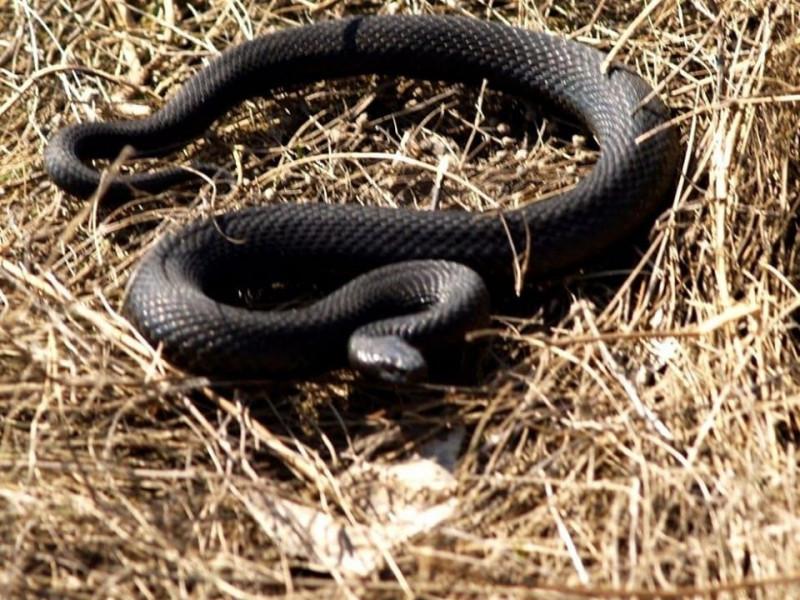 На Кореччині змія вкусила 19-річну дівчину